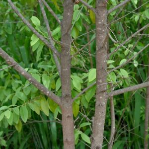 A young Sandalwood tree