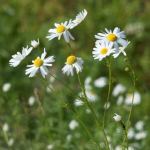 A close up of german Chamomile flowers in a field