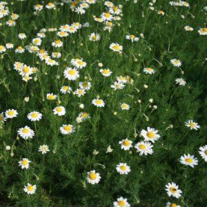 A field of Roman Chamomile flowers