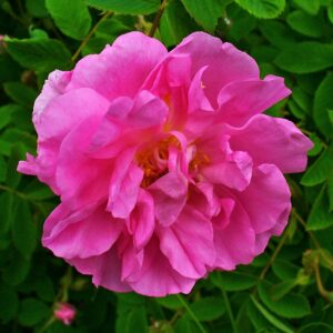 A bright pink rose flower