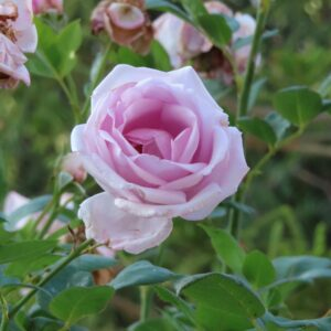 A pink rose flower