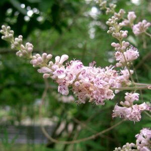 A branch of Vitex flowers