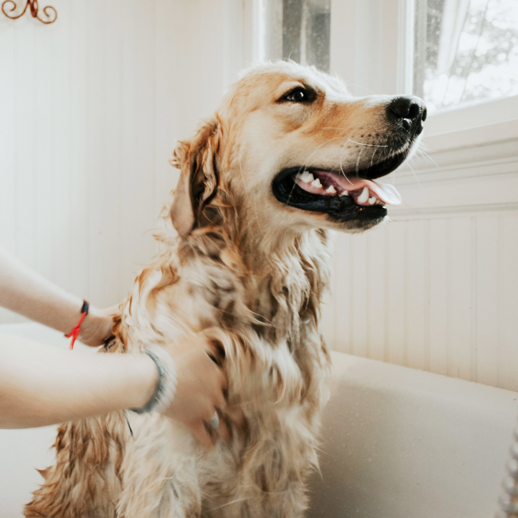 A yellow dog being given a bath